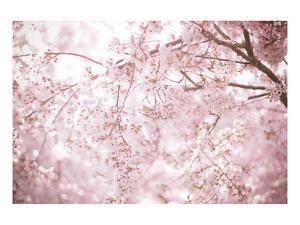Sakura Season Cherry Blossom