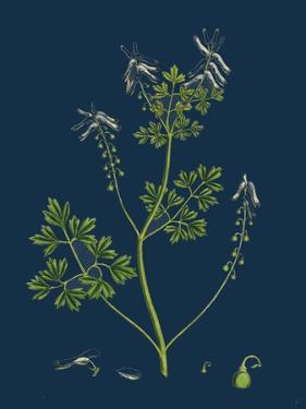 Salix Pentandra; Bay-Leaved Willow