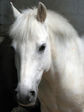 White Pony by Sally Crossthwaite