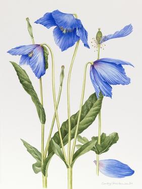 Blue Meconopsis by Sally Crosthwaite