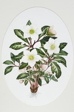 Christmas Rose Oval by Sally Crosthwaite