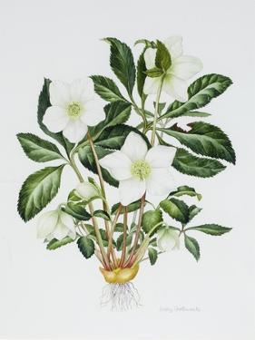 Christmas Rose by Sally Crosthwaite