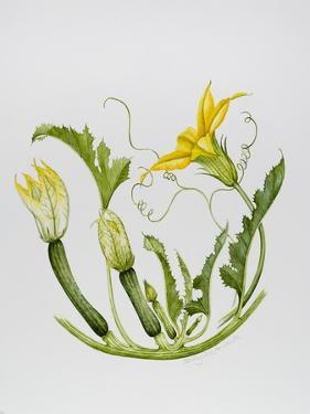 Courgettes by Sally Crosthwaite