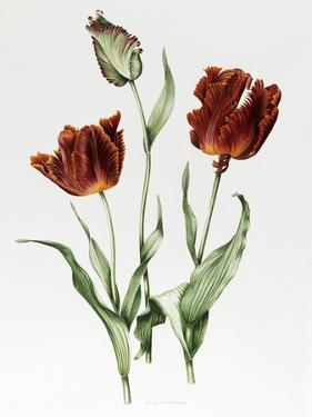 Flaming Parrot Tulip by Sally Crosthwaite
