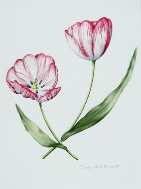 Florists Tulip Mabel by Sally Crosthwaite