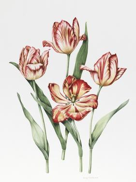 Hatfield Tulip by Sally Crosthwaite