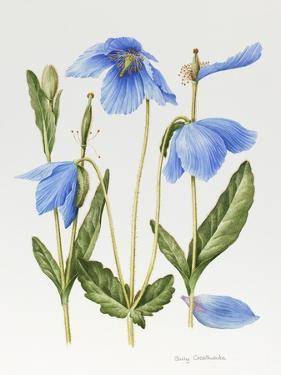 Meconopsis Poppy by Sally Crosthwaite
