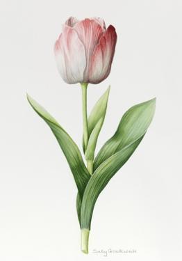 Meissner Porsellan' Tulip by Sally Crosthwaite