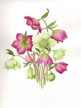 Mixed Hellebores by Sally Crosthwaite