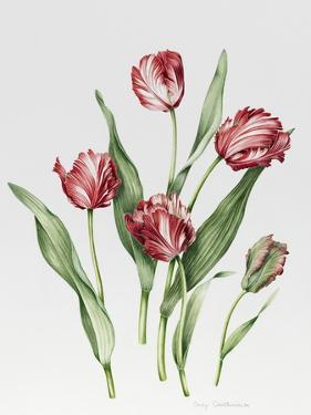 Pink Parrot Tulips by Sally Crosthwaite