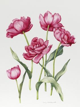 Pink Peony Tulips by Sally Crosthwaite