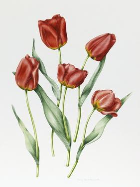 Red Darwin Tulips by Sally Crosthwaite
