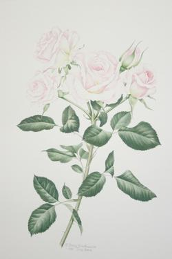 Rosa Belmonte by Sally Crosthwaite