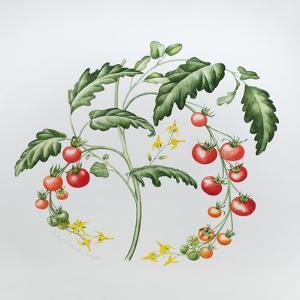 Tomatoes by Sally Crosthwaite