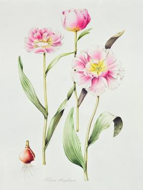 Tulip angelique by Sally Crosthwaite