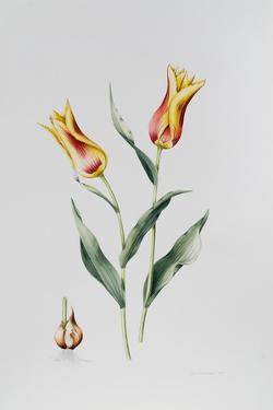 Tulip Mona Lisa by Sally Crosthwaite