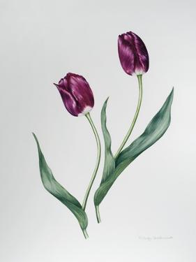 Tulip Negrita by Sally Crosthwaite