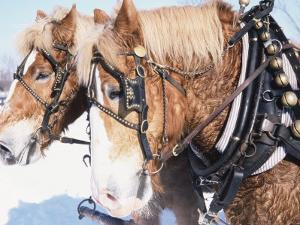 Belgian Draft Horses in Winter, WI by Sally Moskol