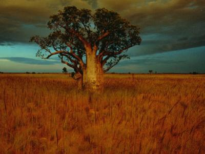 A Boab Tree by Sam Abell
