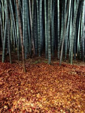 Autumn Leaves Litter the Ground Beneath Bamboo Shoots by Sam Abell