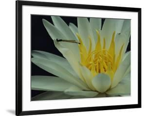 Damselfly on a water lily flower by Sam Abell
