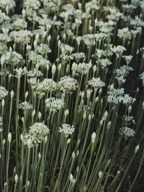 Garlic Chives, Whose Growth is Encouraged by Nipping the Flowers by Sam Abell