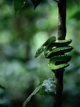 Green Tree Python (Chondropython Viridis) by Sam Abell