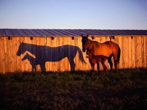 Mare and Her Foal Near a Barn by Sam Abell