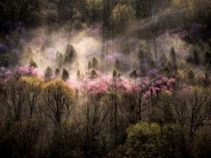 Misty View of a Forested Hillside with Trees in Bloom by Sam Abell