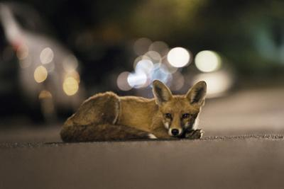 Young Urban Red Fox (Vulpes Vulpes) Lying in Road with Street Lights Behind. Bristol, UK, August by Sam Hobson