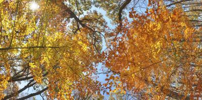 A tree canopy in the fall in Sligo Creek Park. by Sam Kittner