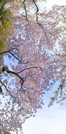 Sunlight on Cherry Blossoms. by Sam Kittner
