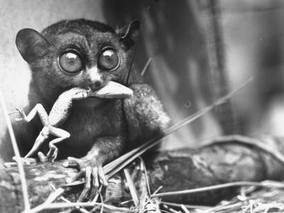 Tarsiers an Animal Native to Indonesia and Philippines Eating a Lizard Alive by Sam Shere