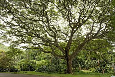 https://imgc.allpostersimages.com/img/posters/samanea-saman-tree-molokai-hawaii-usa_u-L-PN6T6E0.jpg?p=0