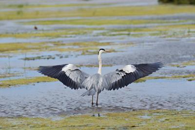 Grey Heron (Ardea Cinerea) Looking for Fish by Sami Sarkis