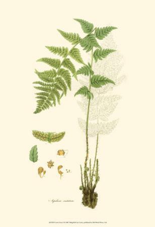 Curtis Ferns I by Samuel Curtis