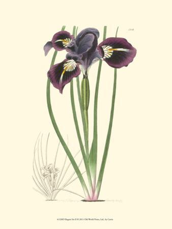 Elegant Iris II by Samuel Curtis