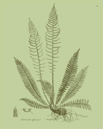 Fresh Ferns I by Samuel Curtis