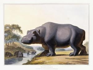The Hippopotamus, 1804 by Samuel Daniell