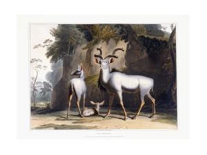 The Koodoo, 1804 by Samuel Daniell