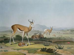 The Spring-Bok or Leaping Antelope, Plate 18 from 'African Scenery and Animals', Engraved by the… by Samuel Daniell