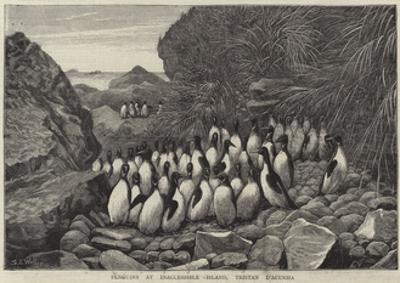 Penguins at Inaccessible Island, Tristan D'Acunha