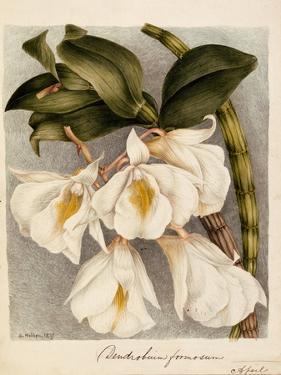 Dendrobium Formosum, C.1839 by Samuel Holden
