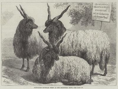 Hungarian Mountain Sheep at the Smithfield Show