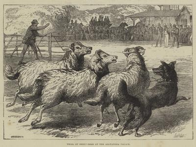 Trial of Sheep-Dogs at the Alexandra Palace