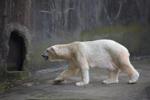 New York City, Bronx Zoo, Polar Bear by Samuel Magal