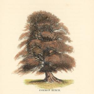 Common Beech by Samuel Williams
