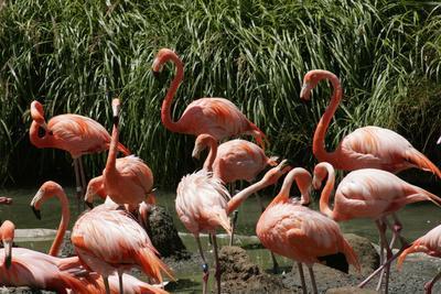 https://imgc.allpostersimages.com/img/posters/san-diego-zoo-flamingo-california-usa_u-L-PN71K80.jpg?p=0