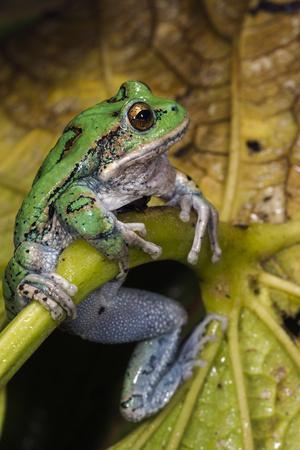 https://imgc.allpostersimages.com/img/posters/san-lucas-marsupial-frog-andes-ecuador_u-L-Q13AXV80.jpg?artPerspective=n