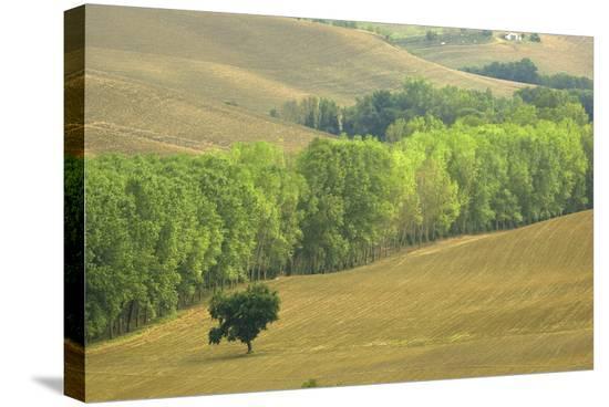 San Quirico Tree Line-Richard Desmarais-Stretched Canvas Print